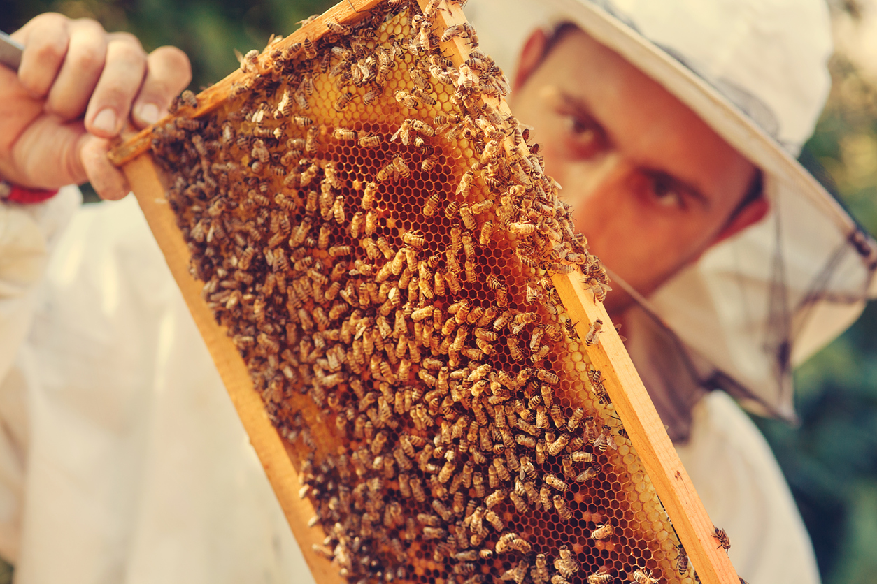 beekeeper maintaining hive