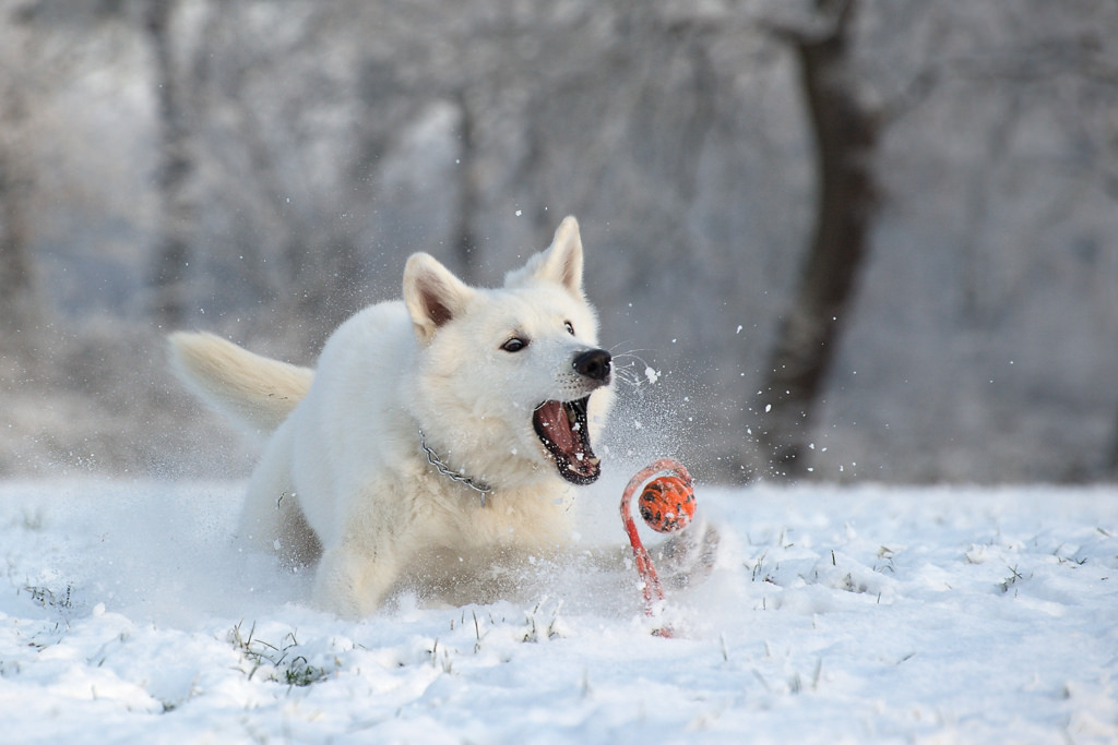 dog exercising in winter
